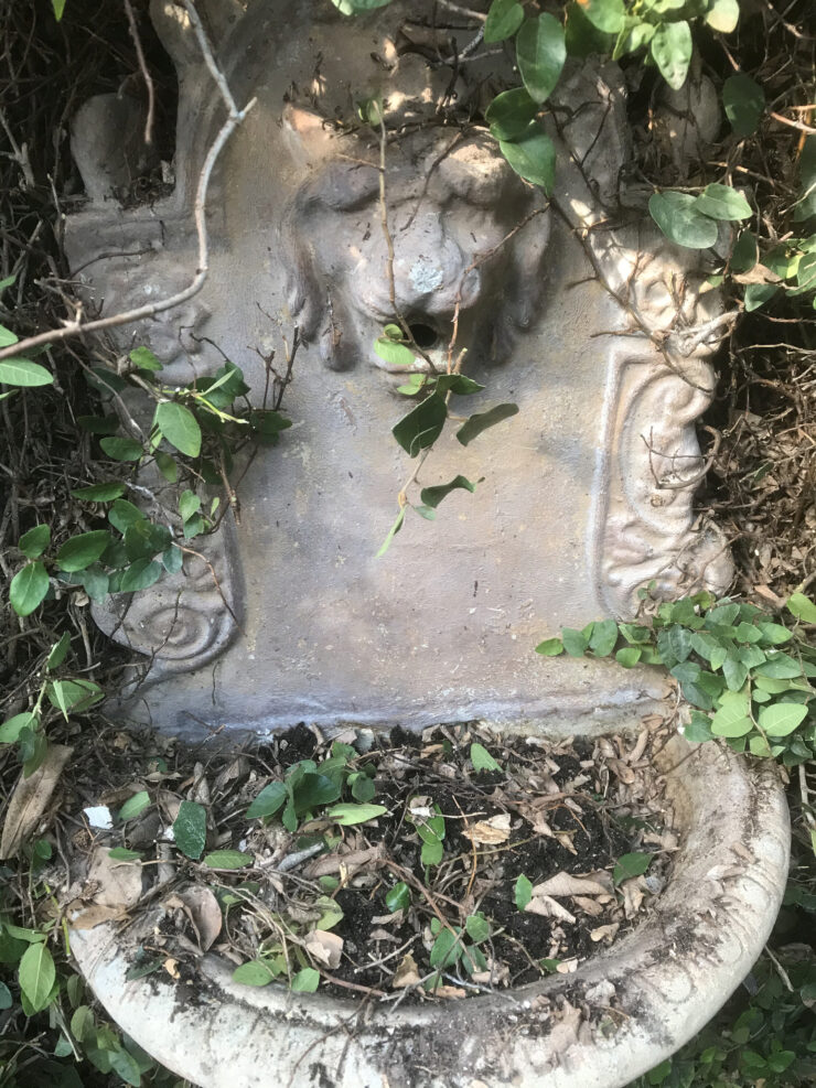 Lion Head fountain I found in overgrown climbing fig on my side yard wall.